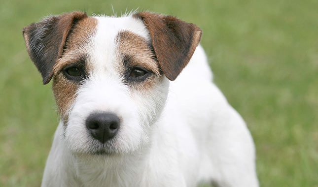 Top 5 Health Disorders Common at Jack Russell Terriers