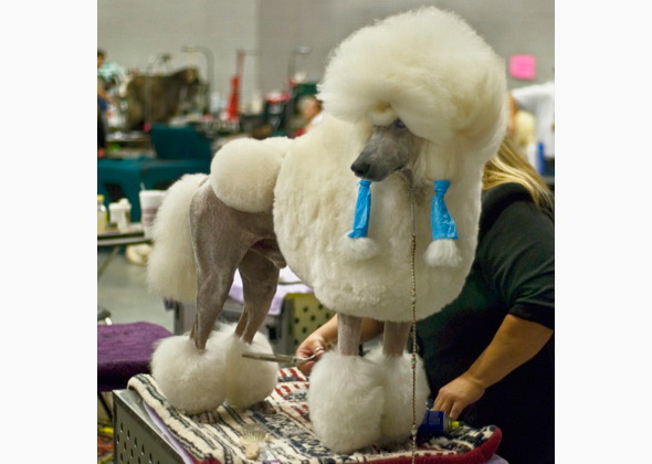 11 Unusual Breeds You Ll See At The Westminster Dog Show
