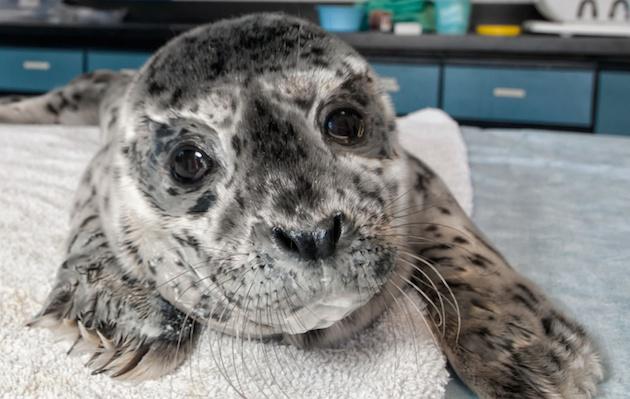 SeaWorld SD harbor seal pup