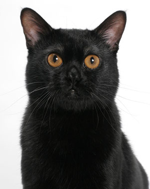 American Shorthair Bombay Cat