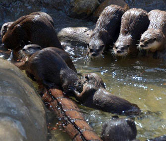Asian small-clawed Otters at the National Zoo