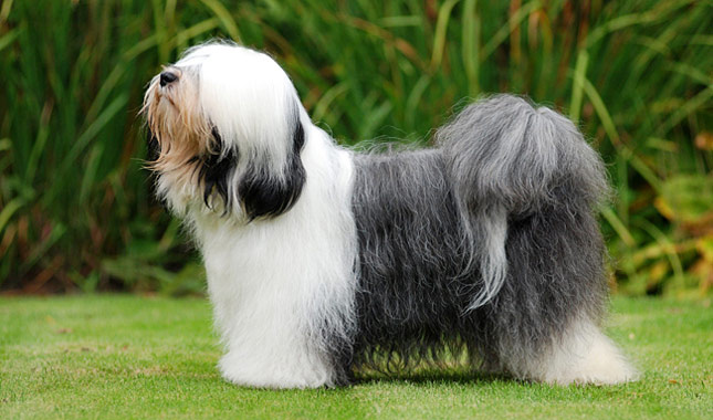tibetano terrier tibetan terrier dog breed information 4905