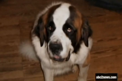Hercules the St. Bernard