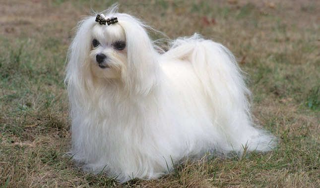 lifespan of a maltese maltese breed information 8521