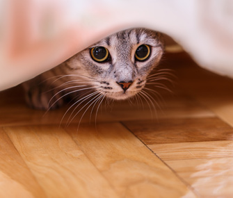 Cat hiding under curtain