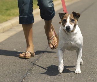 Jack Russell Terrier being walked