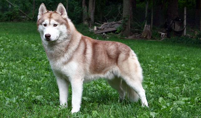 Siberian Husky Dog Breed Information