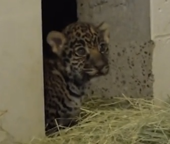 Two jaguar cubs were born last month at the Living Desert zoo in California.