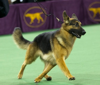 Rumor, a German Shepherd, was heavily favored to win the Best in Show title.