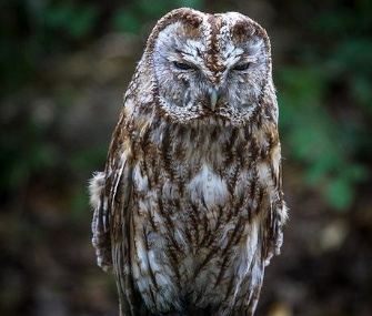 Sherman, a rare tawny owl, was taken from the Raptor House sanctuary in Washington.