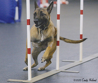 Rose Westminster Agility