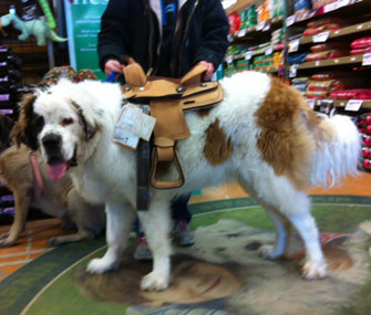 Big dog wearing saddle