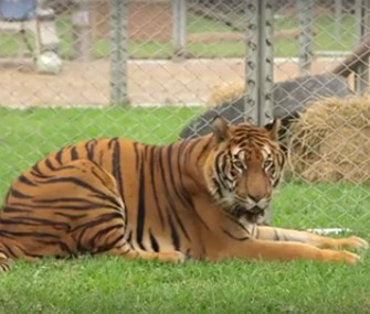 Tiger rescued from roadside circus in Peru