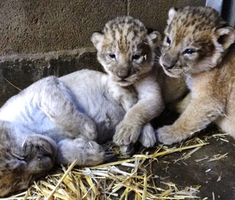 Lion cubs at Sacramento Zoo
