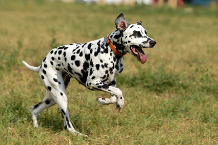 Dalmatian running through a field.
