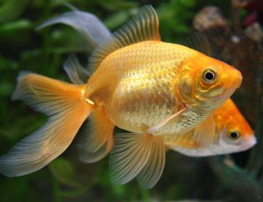 Think goldfish are easy how to care for goldfish for Easy to take care of fish