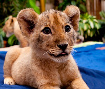 One of the three lion cubs who arrived at Busch Gardens Tampa from South Africa poses for the cameras.