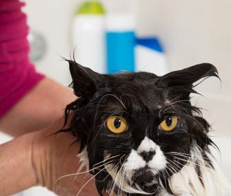 Cat getting a bath