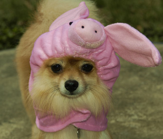 Pig costume on dog