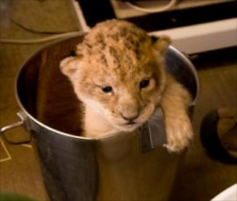 One of Neka's three lion cubs gets a weight check at the Oregon Zoo.