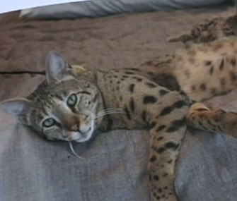 Ivy, a Savannah cat, went missing in San Diego.