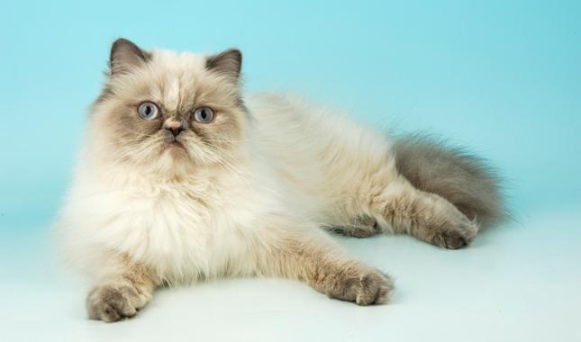 Himalayan Cat Breed Information