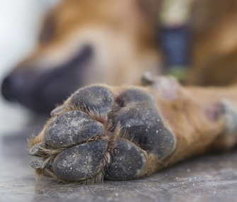 Closeup of dog paw