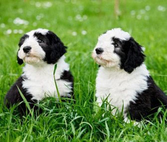 2 black and white puppies sitting in grass