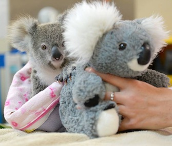 Shayne, an orphaned koala joey, snuggles with a stuffed animal koala for comfort.