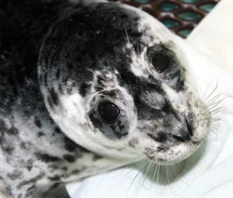 The Alaska SeaLife Center is caring for eight rescued harbor seal pups.