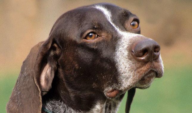 Resultado de imagen para pointer dog barking