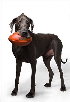 Giant George, The World's Tallest Dog with Football