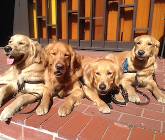 Four Golden Retriever Comfort Dogs from the Lutheran Church Charities are visiting Boston on the anniversary of the bombings there.