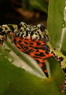 Red bellied toad
