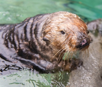 Walter the sea otter settles in at his new home at the Vancouver Aquarium.