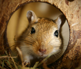 Gerbil in a tunnel