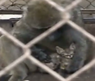A baboon has been caring for a stray kitten at an Israeli zoo.