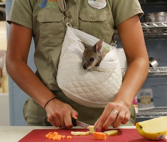 Wallaby joey Liv hangs out in a makeshift pouch with one of her keepers.
