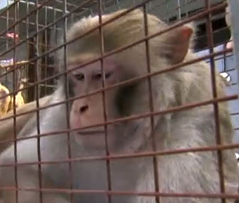 The Mystery Monkey of Tampa Bay was captured after three years as a fugitive.