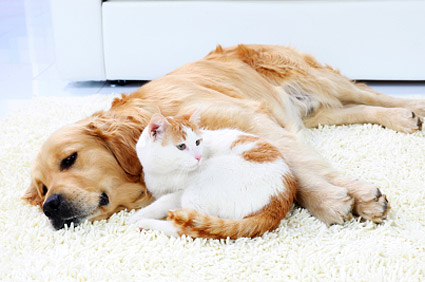 Yellow dog and white and orange cat cuddling together on rug