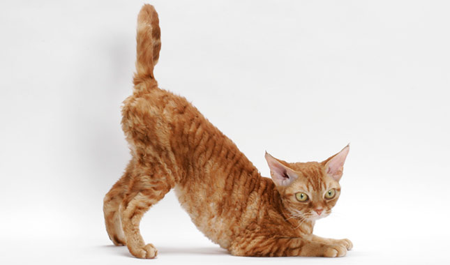 Devon Rex Cat Breed In...