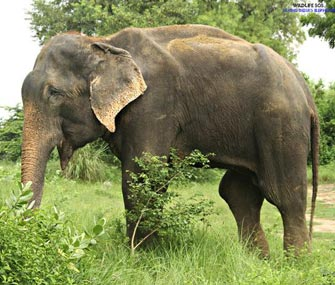 Raju the elephant freed