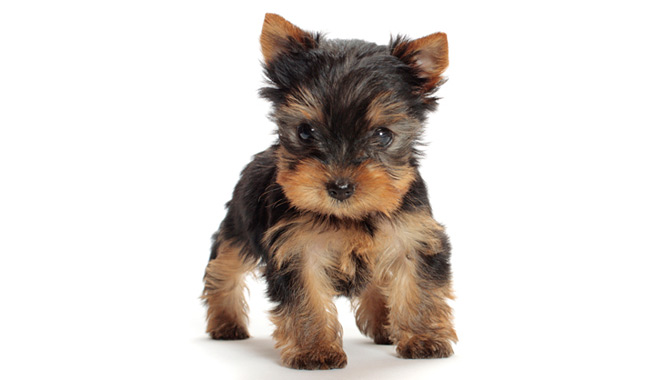 pathan-girl-toy-yorkie-adult