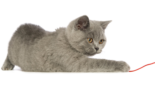 How much to feed a british shorthair cat