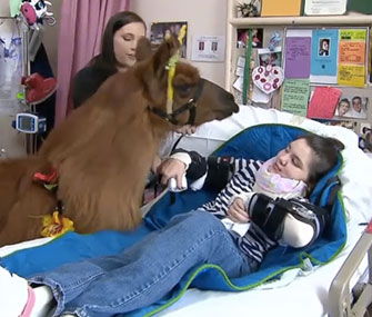 Rojo the llama visits a young patient in an Oregon hospital.