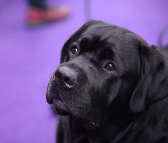 Labrador Retriever at Westminster Dog Show benching