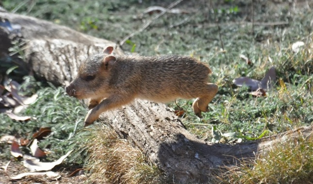 One of the San Francisco Zoo's peccary pups flies through the air.