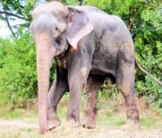 Raju the rescued elephant takes his first steps to freedom on July 4.