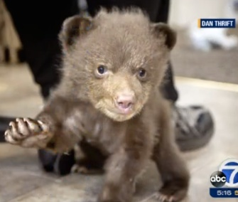 Tahoe the bear cub is being treated at Lake Tahoe Wildlife Care.