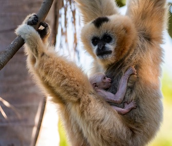 A white-cheeked Gibbon was born this month at the Adelaide Zoo.